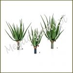 Aloes Aloe Plant x 16