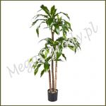 Dracena Fragrans Steud ZST